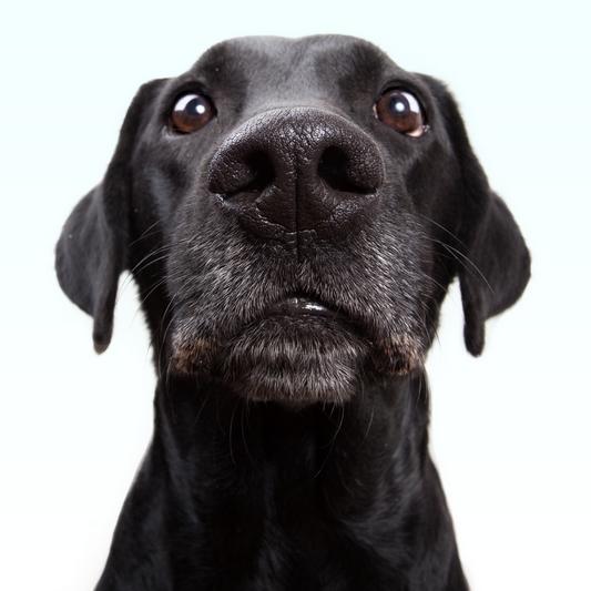 nervous labrador
